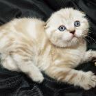 Голубоглазый шотландский котик.