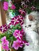 Котёнок. девочка серебрстая Вискас., Молодечно в Беларуси