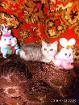 Котёнок Экзот девочка., Молодечно в Беларуси