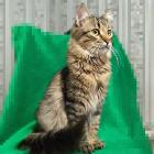 Котёнок-подросток Джой в дар