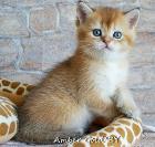 Котята золотого окраса
