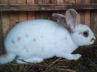 Кролик, Клецк