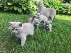 Лиловые британские котята