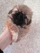 Пекинес щенок, Минск