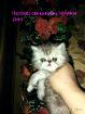 Персидская девочка (котята), Молодечно в Беларуси