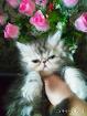 Персидская девочка. Персы. Котята., Минская область в Беларуси