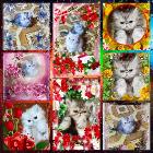 Персидские котята. Персы.