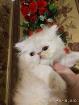 Персидский мальчик. Персы. Котята.