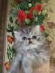 Персидский мальчик серебристый Вискас., Молодечно в Беларуси