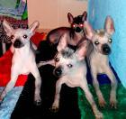 Перуанскаская голая собака