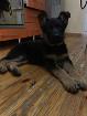 Продам щенка девочка породистая немецкая овчарка