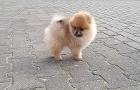 Продам щенка померанского шпица
