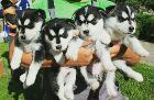 Продам щенков Хаски, Дзержинск в Беларуси
