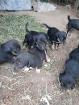 щенки, Воложин в Беларуси