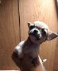 щенок чихуахуа мини