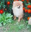 щенок померанского шпица