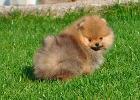 Шикарные щенки померанского шпица из питомника - м