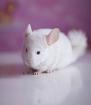 Шиншилла Бело-розовый