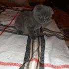 Шотландский вислоухий котенок мальчик