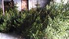 Срубленные новогодние деревья( ель, сосна) ОПТОМ