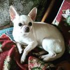 Вязка белый кобель чихуахуа