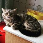 Вязка шотландский кот, Гомель в Беларуси
