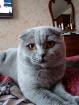 Вязка шотландского кота, Барановичи